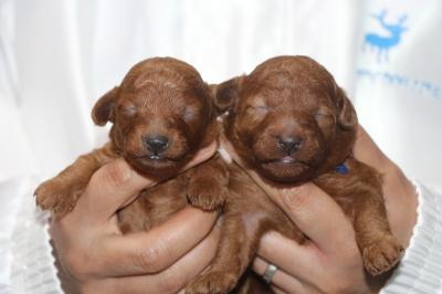 トイプードルレッドの子犬オス2頭、生後2週間画像