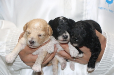 トイプードルパーティーカラーの子犬メス3頭、生後2週間画像