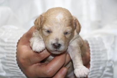 トイプードル生後2週間画像アプリコット&ホワイトパーティーカラーの子犬メス、生後2週間画像