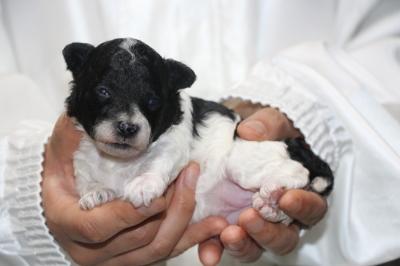 トイプードル白黒パーティーカラーの子犬メス、生後2週間画像