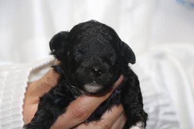 トイプードルシルバー&ホワイトパーティーカラーの子犬メス、生後2週間画像