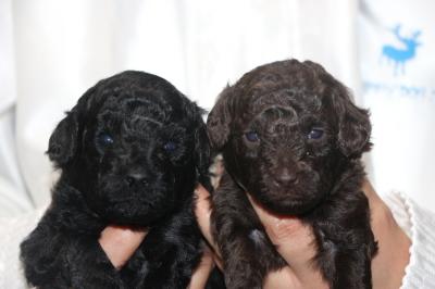 トイプードルブラック(黒色)とブラウンの子犬メス、生後3週間画像