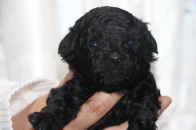 トイプードルブラック(黒色)の子犬メス、生後3週間画像