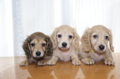 ミニチュアダックスの子犬、シェイデッドイエローオス1頭イエローメス2頭、生後7週間画像