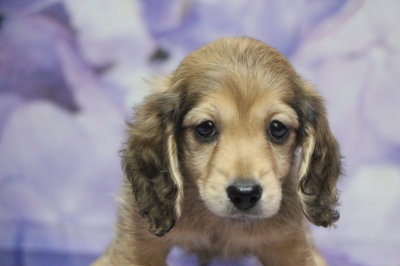 ミニチュアダックスの子犬、シェイデッドイエローオス、生後7週間画像