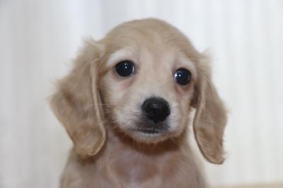 ミニチュアダックスの子犬、イエローメス、生後7週間画像