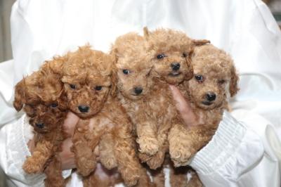 トイプードルの子犬、レッドオス1頭メス1頭アプリコットメス3頭、生後5週間画像