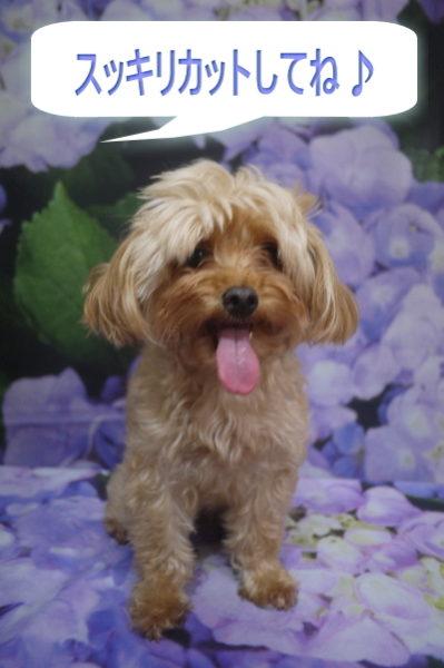 千葉県鎌ヶ谷市のミックス犬のトリミング前画像