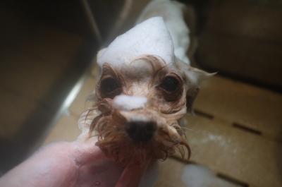 千葉県鎌ヶ谷市のミックス犬のシャンプー画像