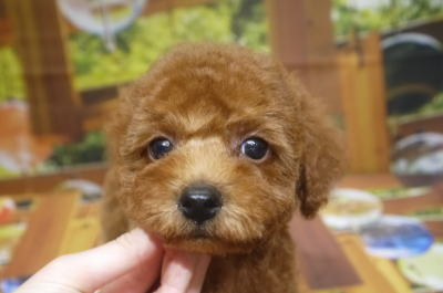 トイプードルブリーダーの子犬、トリミング画像