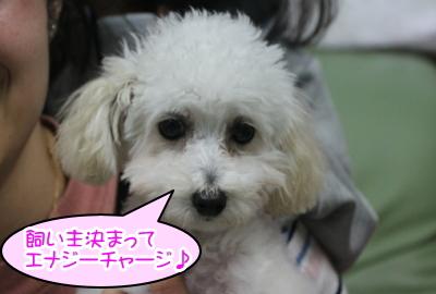 タイニープードルホワイト(白色)の子犬メス、神奈川県横須賀市エナちゃん画像