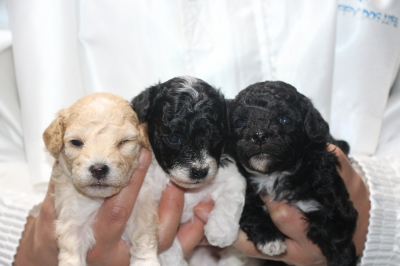 トイプードルパーティーカラーの子犬メス3頭、生後3週間画像