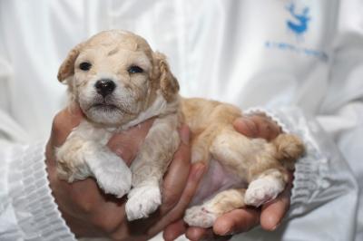 トイプードルアプリコット&ホワイトパーティーカラーの子犬メス、生後3週間画像