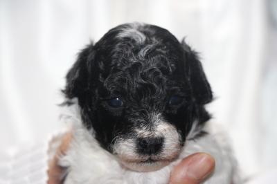 トイプードル白黒パーティーカラーの子犬メス、生後3週間画像
