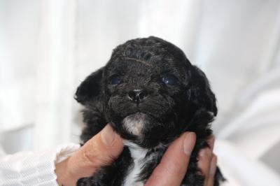 トイプードルシルバー&ホワイトパーティーカラーの子犬メス、生後3週間画像