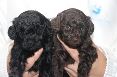 トイプードルブラック(黒色)とブラウンの子犬メス、生後4週間画像