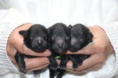 トイプードルシルバーの子犬オス3頭、生後1週間画像