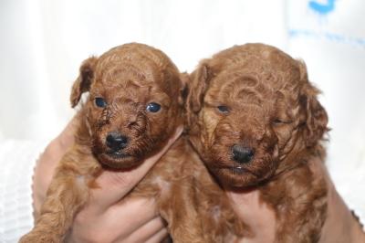 トイプードルレッドの子犬オス2頭、生後4週間画像