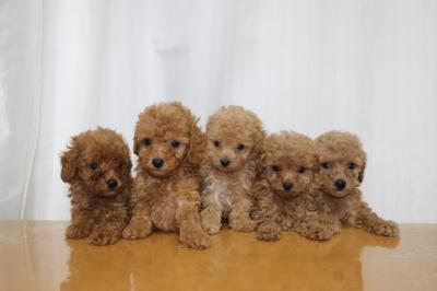 トイプードルの子犬、レッドオス1頭メス1頭アプリコットメス3頭、生後6週間画像