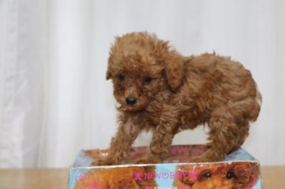ティーカッププードルレッドの子犬オス、生後6週間画像
