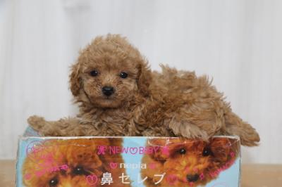 ティーカッププードルアプリコットの子犬メス、生後6週間画像