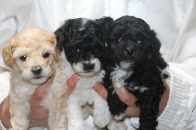 トイプードルパーティーカラーの子犬メス3頭、生後4週間画像