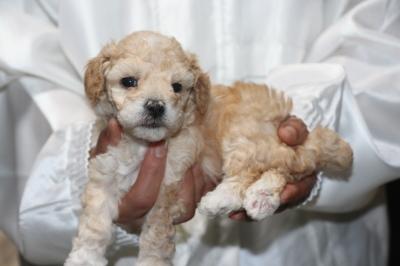 トイプードルアプリコット&ホワイトパーティーカラーの子犬メス、生後4週間画像