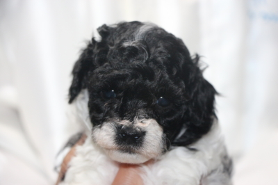 トイプードル白黒パーティーカラーの子犬メス、生後4週間画像