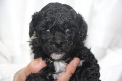 トイプードルシルバー&ホワイトパーティーカラーの子犬メス、生後4週間画像