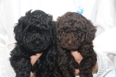トイプードルブラック(黒色)とブラウンの子犬メス、生後5週間画像