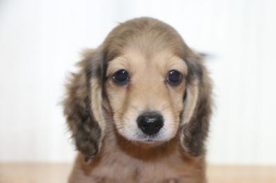 ミニチュアダックスシェイデッドイエロー(クリーム)の子犬オス、生後2ヵ月画像