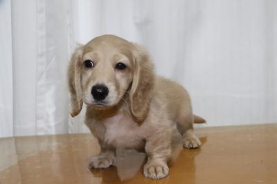 ミニチュアダックスイエロー(クリーム)の子犬メス、生後2ヵ月画像