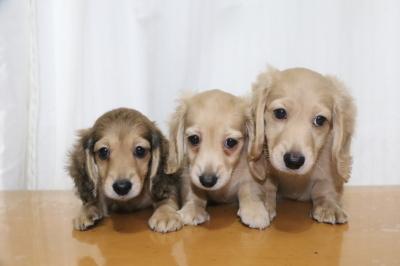 ミニチュアダックスの子犬、シェイデッドイエローオス1頭イエローメス2頭、生後2ヵ月画像