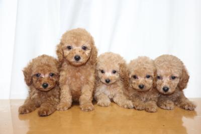 トイプードルの子犬、レッドオス1頭メス1頭アプリコットメス3頭、生後7週間画像