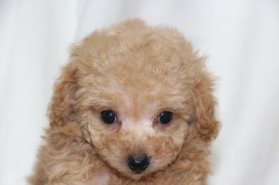 ティーカッププードルアプリコットの子犬メス、生後7週間画像