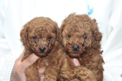 トイプードルレッドの子犬オス2頭、生後5週間画像