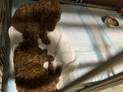 トイレのしつけが出来ている、トイプードルレッドの子犬、生後5週間画像