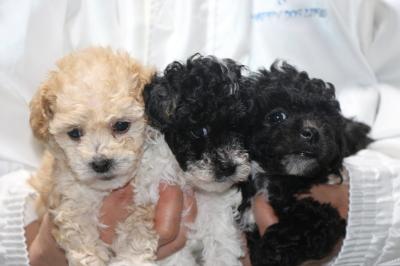 トイプードルパーティーカラーの子犬メス3頭、生後5週間画像