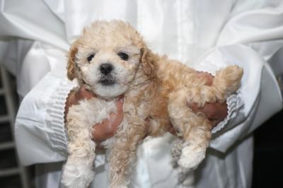 トイプードルアプリコット&ホワイトパーティーカラーの子犬メス、生後5週間画像