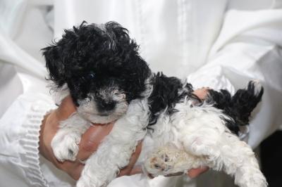 トイプードル白黒パーティーカラーの子犬メス、生後5週間画像