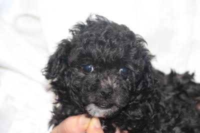 トイプードルシルバー&ホワイトパーティーカラーの子犬メス、生後5週間画像