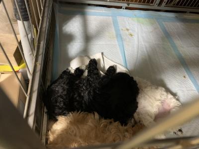 トイレのしつけが出来ている、トイプードルパーティーカラーの子犬メス、生後5週間画像