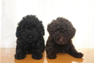 トイプードルブラック(黒色)とブラウンの子犬メス、生後6週間画像