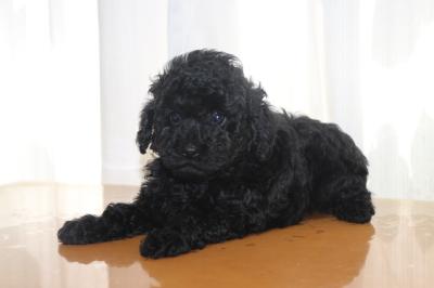 トイプードルブラック(黒色)の子犬メス、生後6週間画像