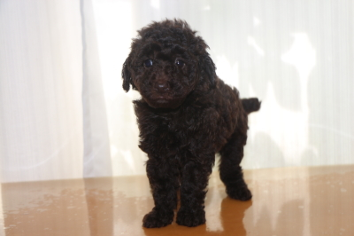 トイプードルブラウンの子犬メス、生後6週間画像