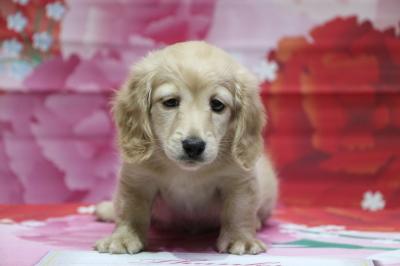 ミニチュアダックスイエロー(クリーム)の子犬オス、神奈川県横浜市レオ君画像