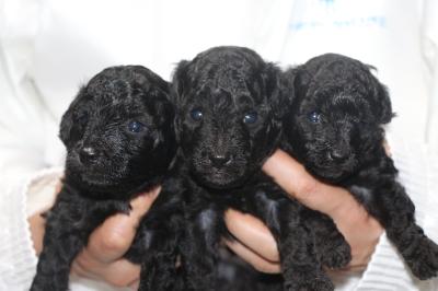 トイプードルシルバーの子犬オス3頭、生後3週間画像