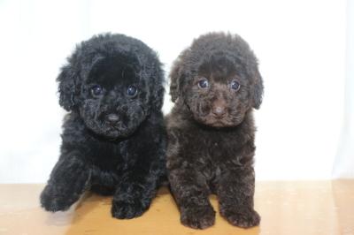 トイプードルブラック(黒色)とブラウンの子犬メス、生後7週間画像