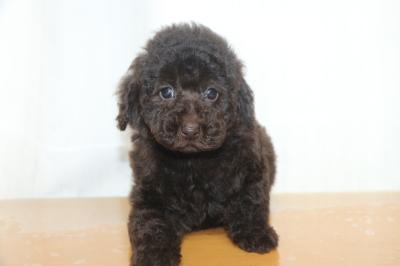トイプードルブラウンの子犬メス、生後7週間画像