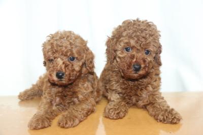 トイプードルレッドの子犬オス2頭、生後6週間画像